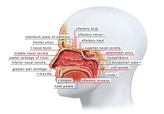 HUMAN BEING :: SENSE ORGANS :: SMELL AND TASTE :: NASAL FOSSAE image ...