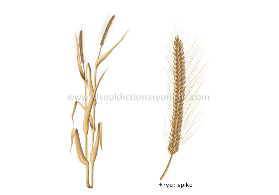 PLANTS & GARDENING :: PLANTS :: CEREALS :: RYE image - Visual ...