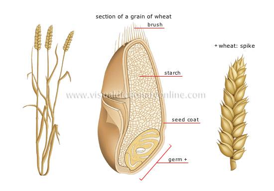 plants gardening plants cereals wheat image visual