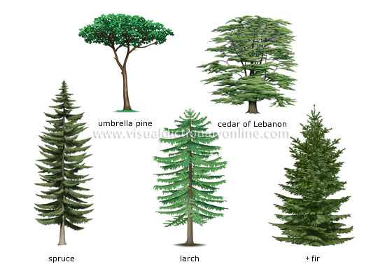 Plants gardening plants conifer examples of for Garden trees types
