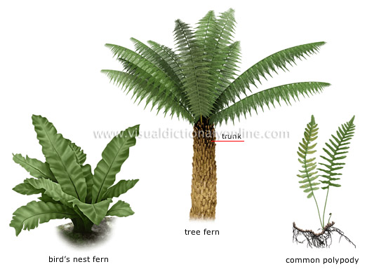 Plants gardening plants fern examples of ferns for Garden trees types