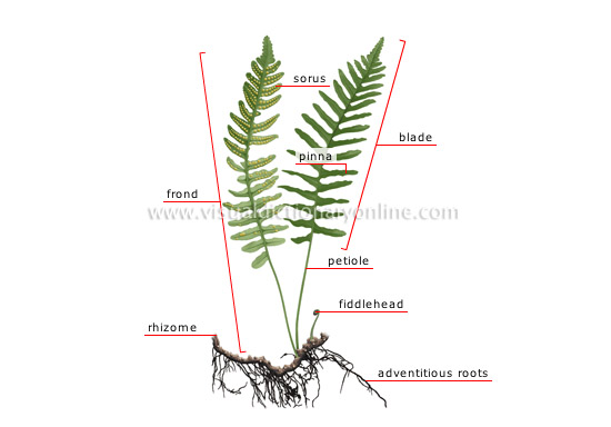 structure of a fern
