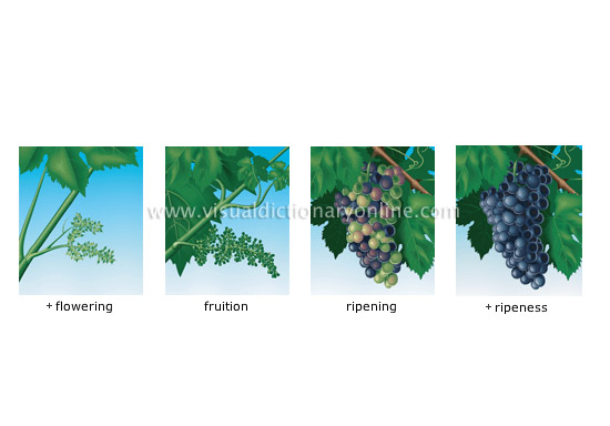 The harvest occurs about 100 days after flowering after the grape has