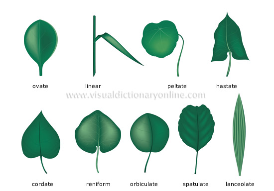 Plants gardening plants leaf simple leaves for Easy garden plants to look after