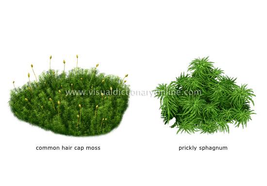examples of mosses