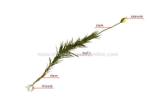 plants & gardening plants moss structure of a moss image  moss rhizoid diagram #8