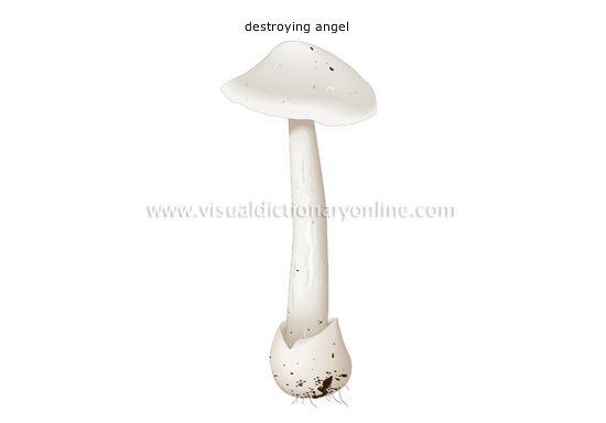 deadly poisonous mushroom