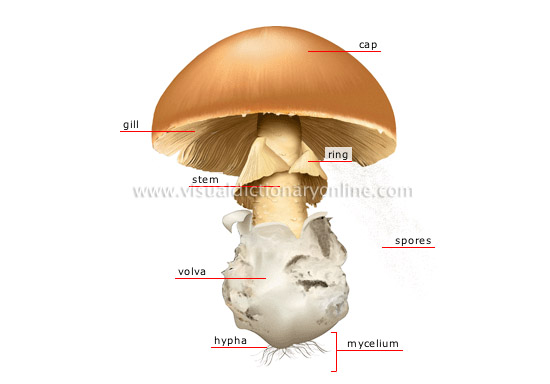 structure of a mushroom