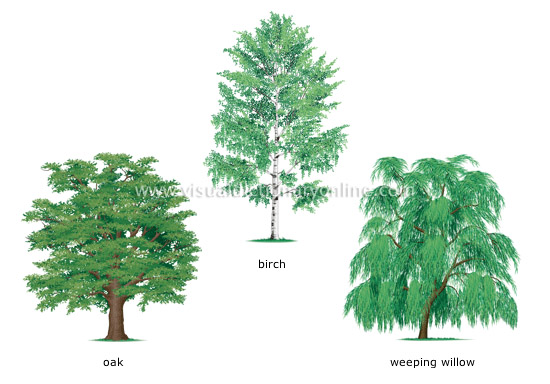 Plants gardening plants tree examples of broadleaved trees 1 image visual for A gardener is planting two types of trees